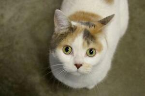 "Adult Female Cat - Exotic Shorthair-Domestic Short Hair: ""Soda"""