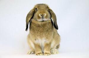 "Young Female Rabbit - French-Lop: ""Winry"""