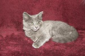 "Baby Male Cat - Domestic Medium Hair: ""Thumper"""
