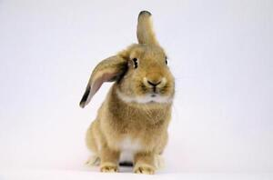 "Young Female Rabbit - Lop Eared: ""Toph"""