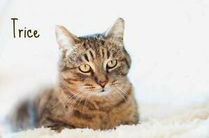 """Adult Male Cat - Tabby - Brown: """"TRICE...BIG & BEAUTIFUL"""""""