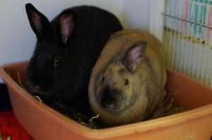 "Young Female Rabbit - American: ""Gamma & Omega"""