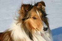 "Adult Male Dog - Collie: ""Chip"""