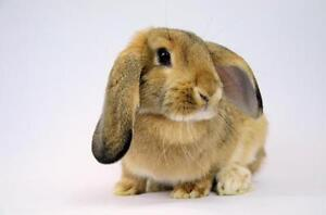 "Young Female Rabbit - Lop Eared: ""Lyra"""