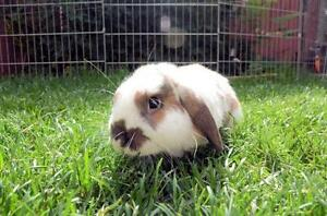 "Adult Male Rabbit - Mini-Lop: ""Harley"""