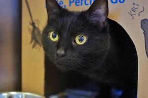 """Adult Female Cat - Domestic Short Hair: """"Kali and Theodore"""""""