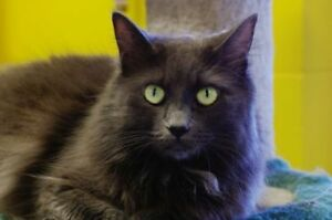 "Adult Male Cat - Domestic Long Hair: ""Stormy"""