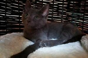 "Baby Male Cat - Domestic Short Hair (Gray): ""Romi"""