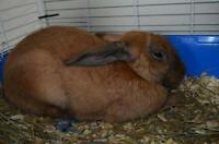 "Adult Male Rabbit - American Sable: ""Jack"""