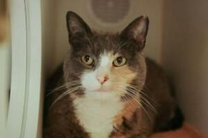 "Senior Female Cat - Domestic Short Hair: ""Kitty"""
