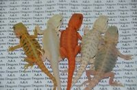 Looking for bearded dragon morphs