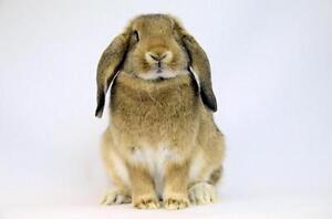 """Young Female Rabbit - French-Lop: """"Winry"""""""