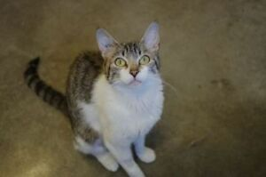 "Young Female Cat - Domestic Short Hair: ""Summer"""