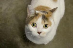 "Adult Female Cat - Domestic Short Hair-Exotic Shorthair: ""Soda"""