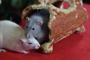 """Young Male Small & Furry - Rat: """"Beau (neutered) & Hugo"""""""