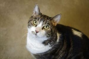 "Adult Male Cat - Domestic Short Hair-Tabby: ""Winston"""