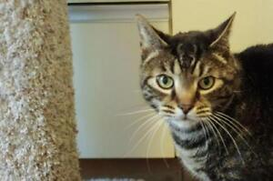 "Senior Male Cat - Domestic Short Hair: ""Seth"""