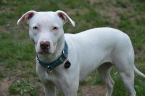 "Adult Female Dog - Pit Bull Terrier: ""Ivey"""