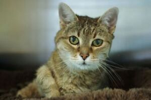 "Senior Female Cat - Domestic Short Hair-Tabby: ""Boo"""