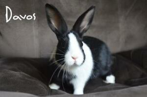 "Young Male Rabbit - Dutch: ""Davos"""