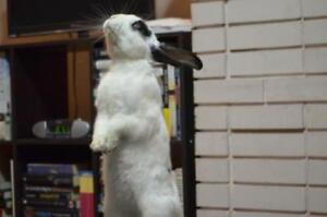 Adult Male  - Bunny Rabbit