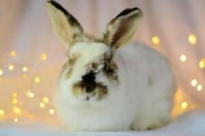"Adult Female Rabbit - Angora Rabbit: ""Esmeralda"""