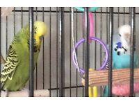 2 year old male (green) female (blue) budgies looking for a loving home