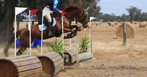 All Rounder Thoroughbred Mare FOR SALE/FREE OFF PROPERTY LEASE Wundowie Northam Area Preview