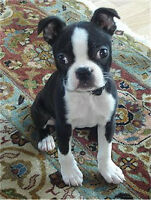 I have a forever home for a female Boston Terrier puppy