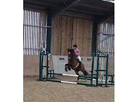 14.2 welsh d mare