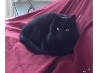 Missing Black Cat, Bedford