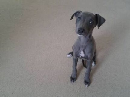 Male Whippet Puppy WANTED