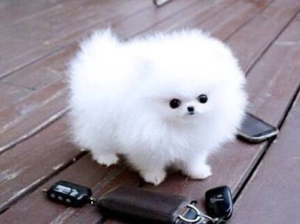 Wanted: WANTED!! Pomeranian puppies / small breed puppies