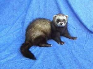 MALE dark sable ferret Port Pirie Port Pirie City Preview