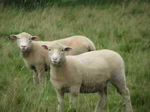 Agistment or lease for sheep or cattle wanted Nairne Mount Barker Area Preview
