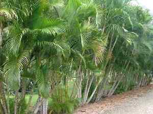 Palms ferns and australian natives wanted. Golden pslms Will remo Collaroy Manly Area Preview