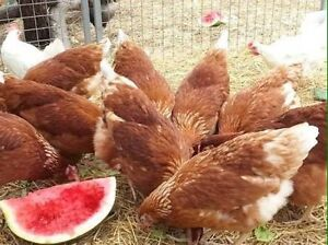 Beautiful ISA Brown Pullets Free Range Egg Laying Hens Chickens Austral Liverpool Area Preview