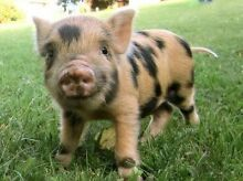 WANTED PIGLET Fulham West Torrens Area Preview