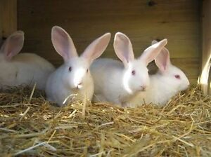 Pure bred rabbits nz white & Flemish giants Lawrence Clarence Valley Preview