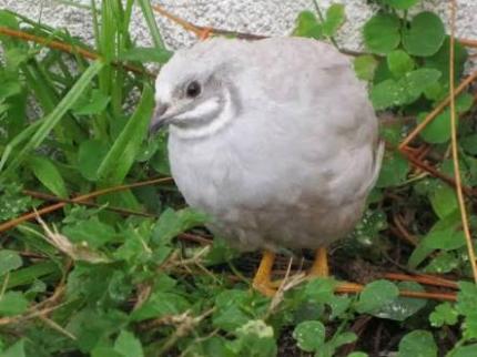 Silver king quail