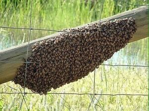 FREE- bee swarm removal Maryborough Central Goldfields Preview