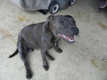 WTB wanted to adopt Blue English Staffordshire Bull Terrier staffy Coomera Gold Coast North Preview