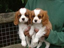 WANTED Pure Bred King Charles Cavalier Puppy Westbury Meander Valley Preview