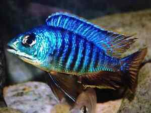 PLA­CIDOCH­ROMIS ­JALO R­EEF cichlid Ngunnawal Gungahlin Area Preview