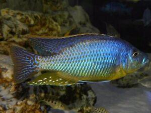Eclectochromis lobochilus for sale Smeaton Grange Camden Area Preview