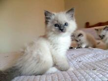 Mitted Ragdoll kitten wanted! Blaxland Blue Mountains Preview