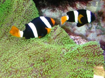 clarkii clowns pair  marine saltwater fish for sale