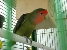 GORGEOUS LOVEBIRDS PAIR+SMALL CAGE Lidcombe Auburn Area Preview