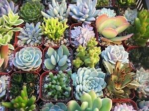 Wanted to buy succulents Singleton Rockingham Area Preview