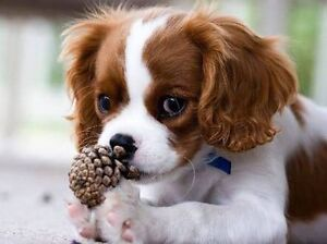 WANTED female Cavalier King Charles Spaniel Narembeen Narembeen Area Preview